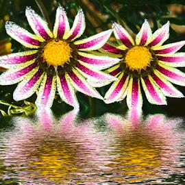 twoo gazanias by LADOCKi Elvira - Digital Art Things ( nature, flowers, garden,  )