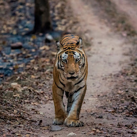 Royal Catwalk-2 by Naveen Joyous - Animals Lions, Tigers & Big Cats ( nature, animal, tiger, walk, wildlife,  )