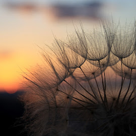 Serenity by Svetlana Micic - Nature Up Close Other plants ( dandelion, sunset, goat  beard, close up, soft )