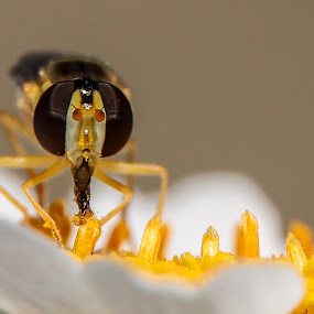 Sírfido libando by Daly Sda - Animals Insects & Spiders ( nature close up, insects,  )