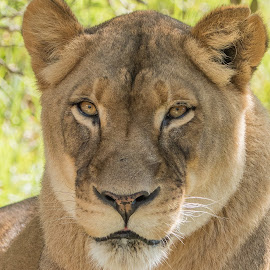 Female Lion by William Sawtell - Animals Lions, Tigers & Big Cats ( big cat, wildfile, king of the jungle, lion, cat, lioness )