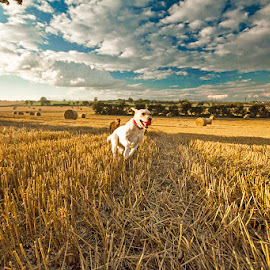 Running Fields 1 by Ian Taylor - Animals - Dogs Running ( countryside, field, labrador, dog, running )