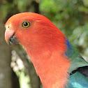 Australian King-Parrot (male)