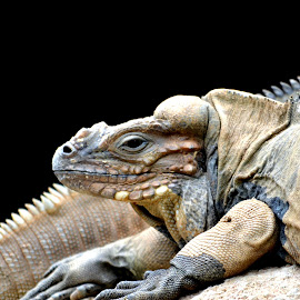 Rhinocerous Iguana by Prashant Karnath - Animals Reptiles