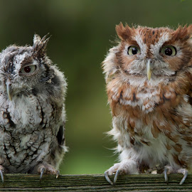 Screech Owl Pair by Jack Nevitt - Animals Birds ( bird, screech, fence, isolated, clean, pair, background, owl, prey )