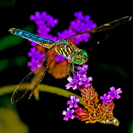 Blue dasher on verbena by David Winchester - Animals Horses