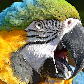 Close up of a Macaw by Tracy Starr - Animals Birds