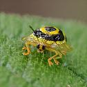 Ringed Tortoise Beetle / Golden Target Beetle
