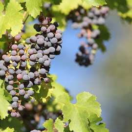 Heard it on the Grape Vine by Lena Arkell - Food & Drink Fruits & Vegetables ( purple, grapes, vine, green, bunches,  )