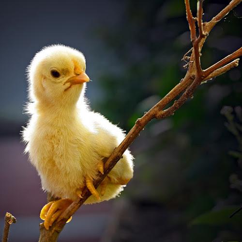chick #2 by Teguh Santosa - Animals Birds