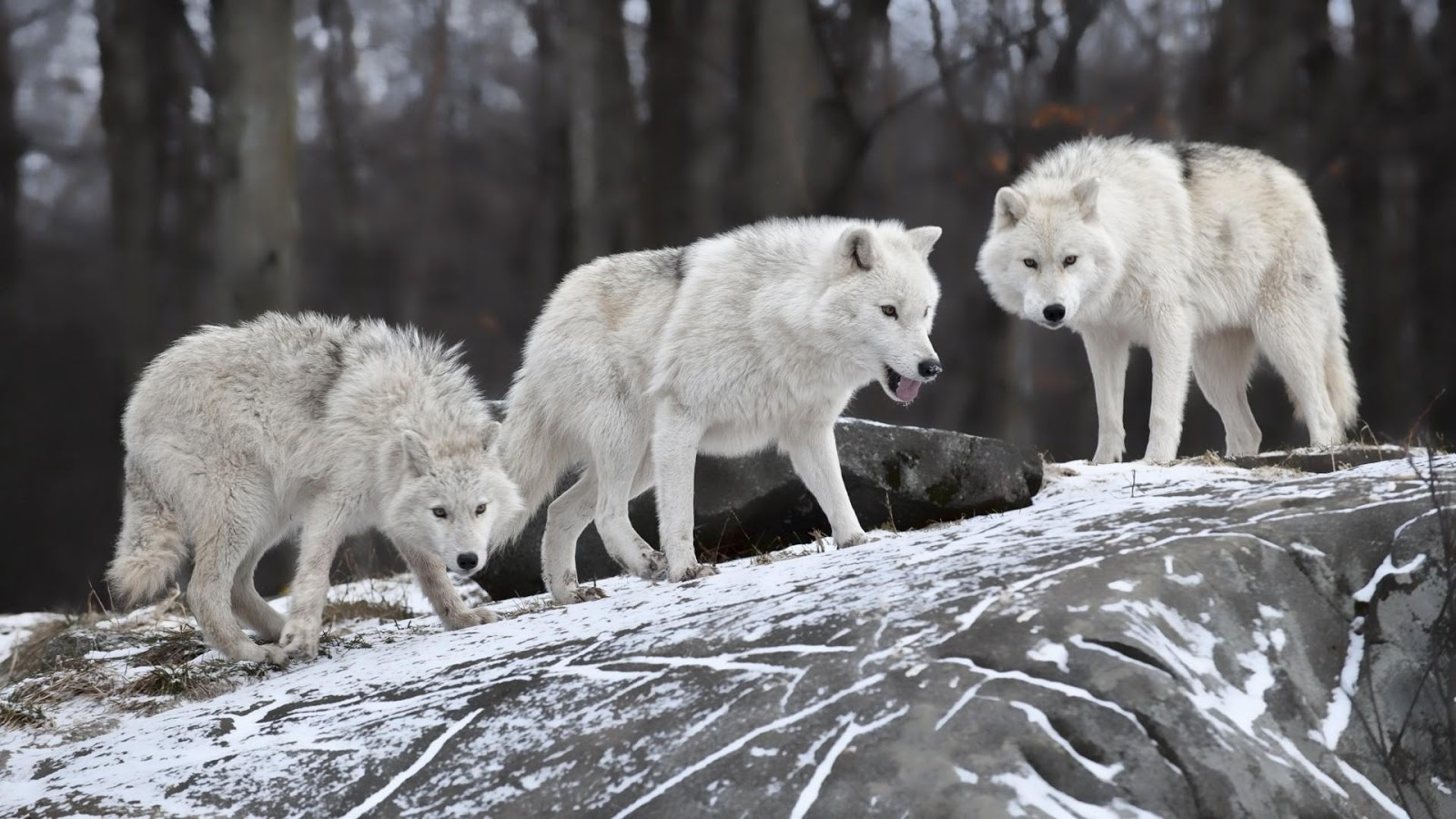 White-Wolf-Live-Wallpaper-HD 6
