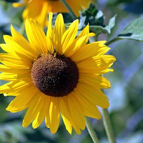 Summer Sunflower by Tony Huffaker - Flowers Single Flower ( utah, summerflower, summer, yellow, glowing )