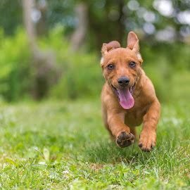 Capi by Dani Turnšek - Animals - Dogs Running ( canon, playing, playful, puppy, dog, 6d, running )