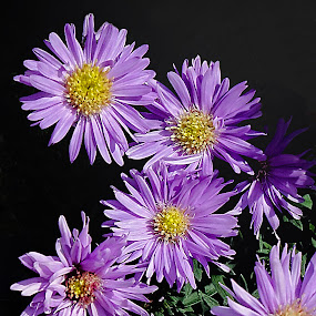 by Dee Haun - Flowers Flowers in the Wild ( purple, 160404x6084ce3, flowers in the wild, yellow center, flowers,  )