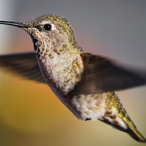 Colibri by Gerardo Robledo - Animals Birds (  )
