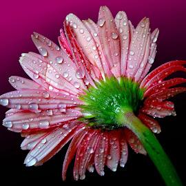 Gerbera by Asif Bora - Flowers Flower Gardens (  )