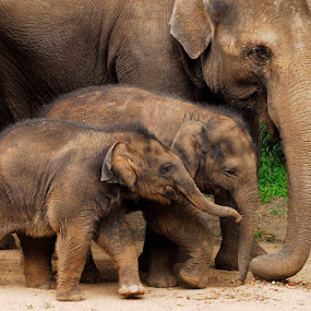 Baby Elephants by Peter Cannon - Animals Other ( elephants, babies, animals, nature, baby elephants, wildlife, nikon )