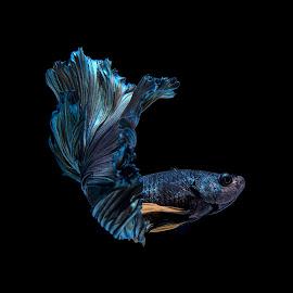 Betta Fish Dancing by Pisith Song - Animals Fish ( macro, nature, underwater, fish, close up )