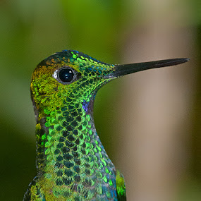 Monteverde Hummingbird... by Benoit Beauchamp - Animals Birds (  )