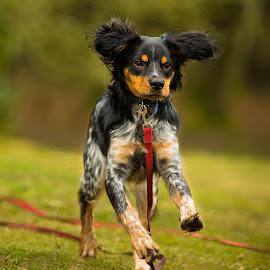 Spaniel having fun by Jenny Trigg - Animals - Dogs Running ( autumn, spaniel, green, having fun, puppy, sunshine, dog, spring, running, brittany spaniel,  )