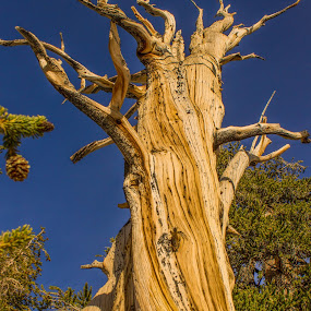 Bristlecone Pine by Tracey Dolan - Nature Up Close Trees & Bushes