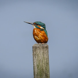 Juvenile kingfisher by Garry Chisholm - Animals Birds ( bird, garry chisholm, nature, kingfisher, wildlife )