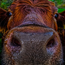 Cow close up by Andrew Lancaster - Animals Other ( nose, nature, farmyard, cow, cattle, eyes, smile, animal, farm, snout, pet, funny, laugh )
