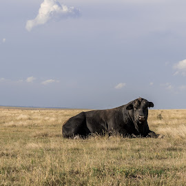 That's a lot of bull! by Jim Talbert - Animals Other Mammals ( solitary, pasture, sky, nature, grass, cow, landscapes, bull, landscape, kansas )