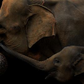 I'm With You by Yohanes Arief Dewanto - Digital Art Animals ( mammals, elephants, elephant, mammal, animal,  )