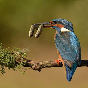 Klever Kingfisher  by Keith Bannister - Animals Birds ( birds. kingfishers. wildlife, nature, avian )