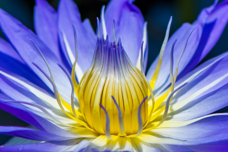 Blue and yellow Lilly by Joseph Martinez - Flowers Single Flower ( flower up close, flower macro, d5200, flower closeup, yellow, blue, flower nature, flower photo, nikon, pond, lilly, flower, flower photography )