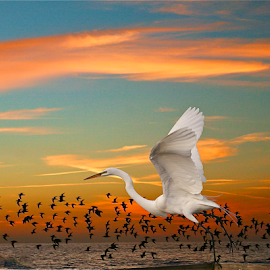 Great White Egret { Sunset Take Off }  by Jeffrey Lee - Animals Birds ( orange, red, blue, sunset, sunsets, great white egret )