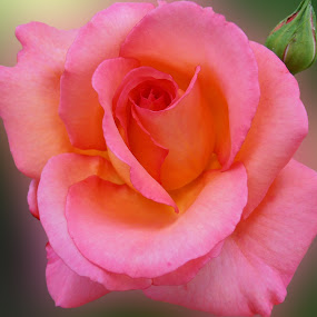 Beauty in pink by Snezana Petrovic - Nature Up Close Flowers - 2011-2013 ( rose, gentle, with bud, beautiful, pink )