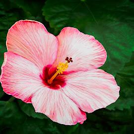 Big Pink Hibiscus by Joseph Vittek - Flowers Single Flower ( tropical, islands, hawaii, bush, hibiscus, plant, shrub, flower )