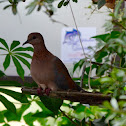 Laughing dove babies