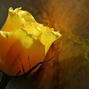 by Koento Birowo - Nature Up Close Flowers - 2011-2013 ( bunga, nature, indonesia, mawar kuning, flower )