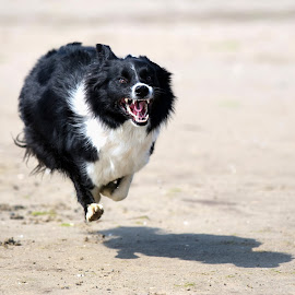 Happy in action by Tomaz Lipicer - Animals - Dogs Running ( border collie, happy, action, run, sports dog, jump )