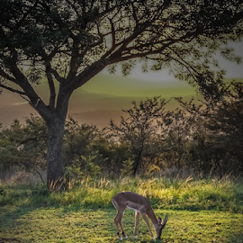 the first visitor by Wim Moons - Landscapes Travel ( natural light, impala, south africa, wildlife, sunrise )