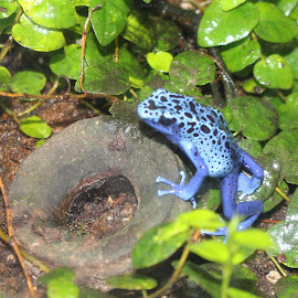 Blue Frog by Richard Crosier - Animals Amphibians ( nature, blue, frog, wildlife, landscapes )