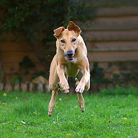 Look Out - Flying Dog! by Chrissie Barrow - Animals - Dogs Running ( flying, smooth, grass, fur, ears, legs, pert, dog, garden, lurcher, running, tan )