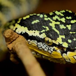 Tropidolaemus wagleri by Brandon Chan - Animals Reptiles ( snake, tropidolaemus wagleri, temple viper, snakes, viper )