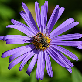 The bee on the aster by Gérard CHATENET - Flowers Single Flower