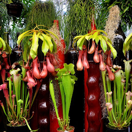 Monkey Pot  by MD Othman - Novices Only Flowers & Plants