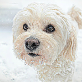 Snow Day Portrait 14 by B Lynn - Animals - Dogs Portraits ( mammals, face, animals, dogs, hdr, white, cute, photography, portrait, portraiture, pet portrait, winter, sweet, cold, pet, pets, snow, puppy, portraits, dog, animal,  )