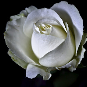 Its white by Aravindh Ganesh - Nature Up Close Flowers - 2011-2013 ( rose, nature, white, plants, beauty, cute, nikon )