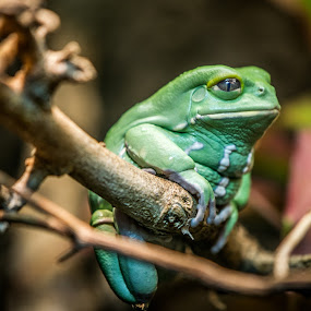 Chillin' by Mat Hockett - Animals Amphibians
