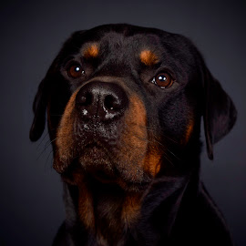 Blade by Steve Howell - Animals - Dogs Portraits ( love, animals, dogs, gentle, pet, rottweiler )
