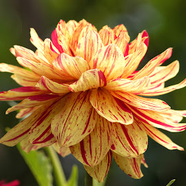 Dahlia 94442 by Raphael RaCcoon - Flowers Single Flower (  )