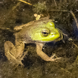 Froggy by Robert George - Animals Amphibians