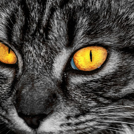 by Laurentiu Barbu - Animals - Cats Portraits